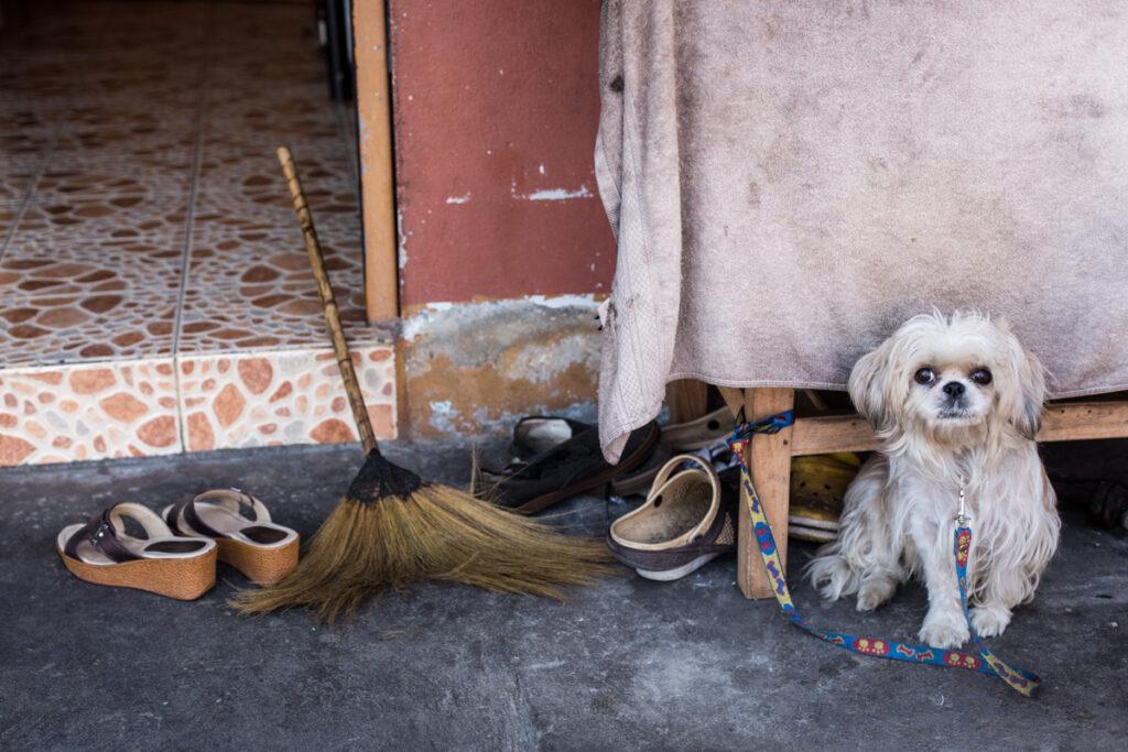 thailand street dog